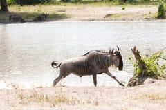 Голубое taurinus Connochaetes антилопы гну водой Стоковая Фотография RF