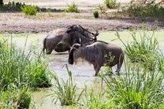 Голубое taurinus Connochaetes антилопы гну в воде Стоковое Изображение