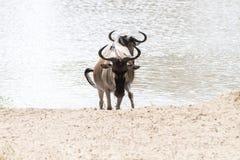 Голубое taurinus Connochaetes антилопы гну в воде Стоковое Фото