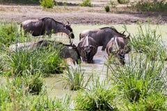 Голубое taurinus Connochaetes антилопы гну в воде Стоковые Изображения RF