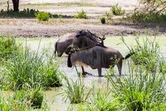 Голубое taurinus Connochaetes антилопы гну в воде Стоковые Фото
