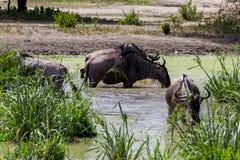 Голубое taurinus Connochaetes антилопы гну в воде Стоковое фото RF