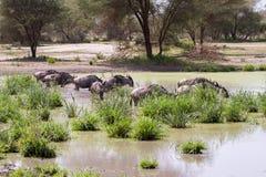 Голубое taurinus Connochaetes антилопы гну в воде Стоковая Фотография RF