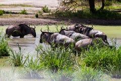 Голубое taurinus Connochaetes антилопы гну в воде Стоковые Фотографии RF