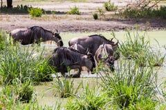 Голубое taurinus Connochaetes антилопы гну в воде Стоковое Изображение RF