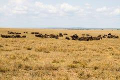 Голубое taurinus Connochaetes антилопы гну в национальном парке Serengeti Стоковое Фото