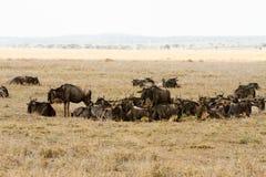 Голубое taurinus Connochaetes антилопы гну в национальном парке Serengeti Стоковые Изображения RF