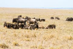 Голубое taurinus Connochaetes антилопы гну в национальном парке Serengeti Стоковое фото RF