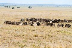 Голубое taurinus Connochaetes антилопы гну в национальном парке Serengeti Стоковая Фотография
