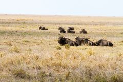 Голубое taurinus Connochaetes антилопы гну в национальном парке Serengeti Стоковые Фотографии RF