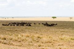 Голубое taurinus Connochaetes антилопы гну в национальном парке Serengeti Стоковые Изображения