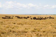 Голубое taurinus Connochaetes антилопы гну в национальном парке Serengeti Стоковое Изображение