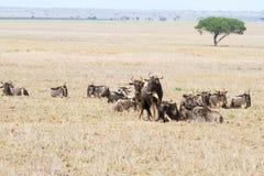 Голубое taurinus Connochaetes антилопы гну в национальном парке Serengeti Стоковая Фотография RF
