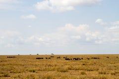 Голубое taurinus Connochaetes антилопы гну в национальном парке Serengeti Стоковые Фото