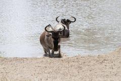 Голубое taurinus Connochaetes антилопы гну в национальном парке Tarangire, Танзании Стоковое Изображение RF