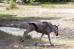 Голубое taurinus Connochaetes антилопы гну в национальном парке Tarangire, Танзании Стоковое Изображение