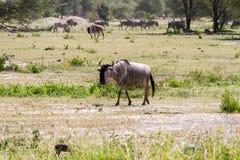 Голубое taurinus Connochaetes антилопы гну в равнине Стоковая Фотография RF