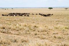Голубое taurinus Connochaetes антилопы гну в Serengeti Стоковое Фото