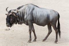 Голубое taurinus Connochaetes антилопы гну Стоковое Изображение