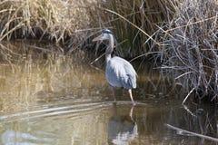 голубой большой болото цапли Стоковые Изображения RF