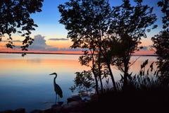 голубой большой заход солнца цапли Стоковые Фото