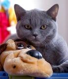 голубой великобританский кот Стоковые Изображения