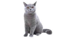 голубой великобританский кот Стоковая Фотография