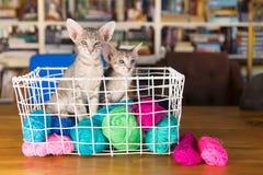 Голубой восточный котенок shorthair стоковое фото