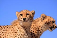 голубой гепард cubs небо 2 Стоковые Изображения RF