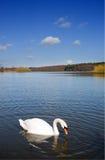 голубой глубокий лебедь озера Стоковая Фотография RF