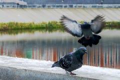Голубой голубь летая Стоковое фото RF