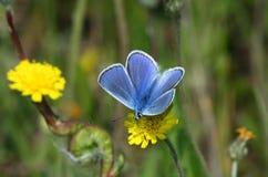 голубой день бабочки Стоковое Изображение