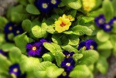 голубой желтый цвет первоцветов Стоковая Фотография