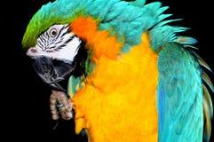 голубой желтый цвет попыгая macaw Стоковые Фото
