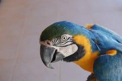 голубой желтый цвет попыгая macaw Стоковое Изображение RF