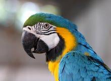 голубой желтый цвет портрета macaw стоковые изображения