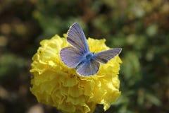 голубой желтый цвет цветка бабочки Стоковые Изображения