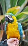 голубой желтый цвет macaw Стоковая Фотография RF