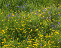 голубой желтый цвет wildflowers Стоковое фото RF
