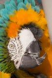 голубой завитый macaw золота вверх стоковые фотографии rf