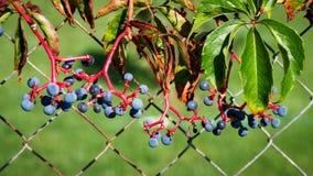 Голубой завод ягод на стене стоковое фото rf