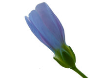 голубой закрытый цветок Стоковое Фото