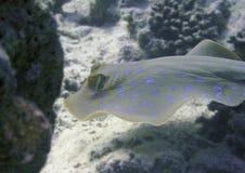 голубой запятнанный stingray Стоковые Фотографии RF