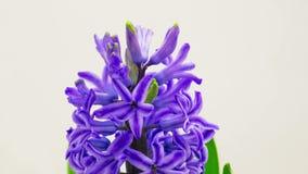 Голубой зацветать цветка гиацинта акции видеоматериалы