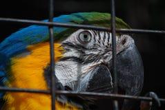 голубой звеец prague macaw золота стоковая фотография rf