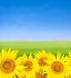 голубой зеленый цвет поля над unflowers неба Стоковое фото RF