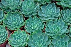 голубой зеленый цвет флоры кактуса Стоковое Фото