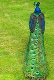 голубой индийский павлин Стоковое Изображение