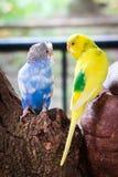 Голубой и желтый длиннохвостый попугай волнистого попугайчика птиц Стоковое фото RF