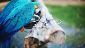 Голубой и желтый попугай ары в зоопарке видеоматериал
